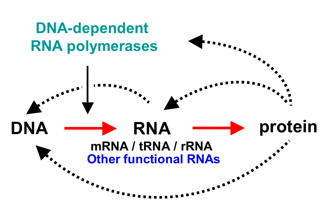 messenger rna carries the instructions for protein synthesis