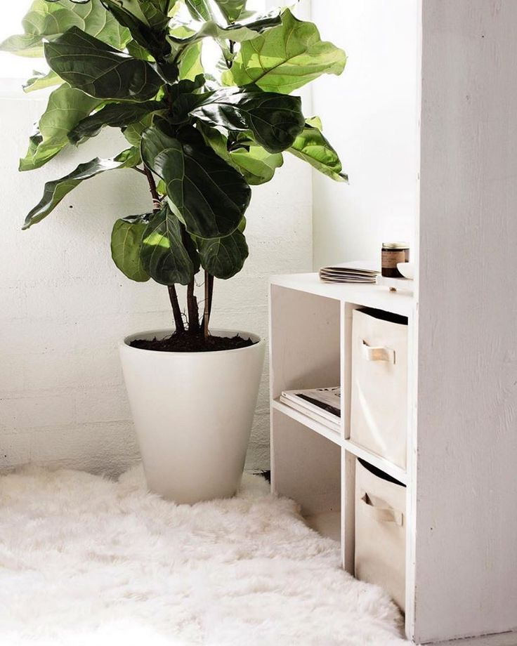 ficus lyrata care instructions