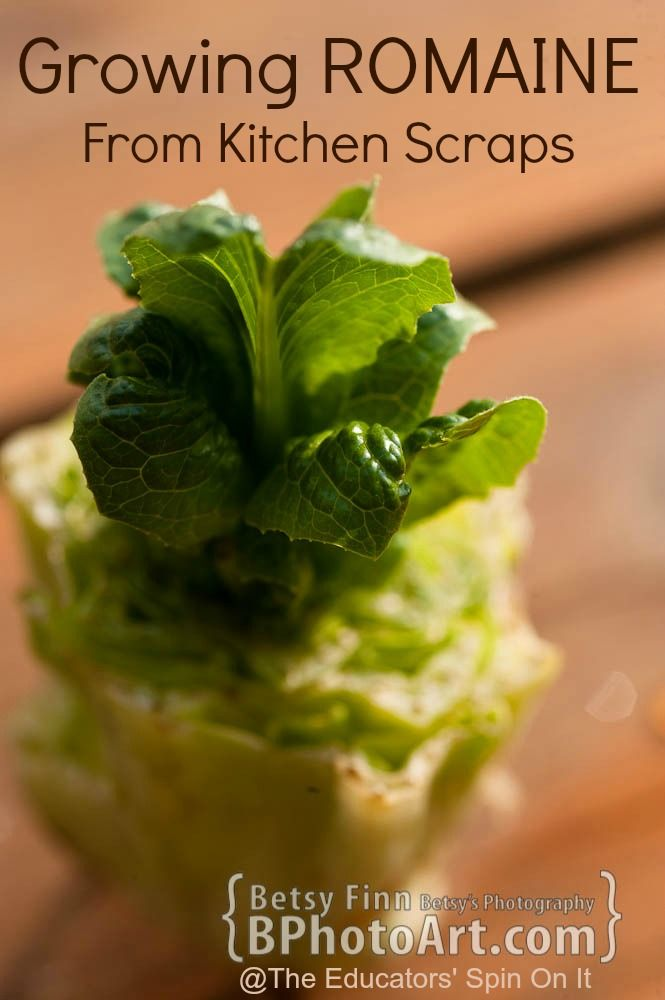 romaine lettuce planting instructions